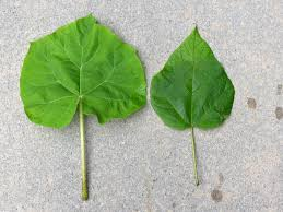 paulownia leaf on the left catalpa leaf on the right