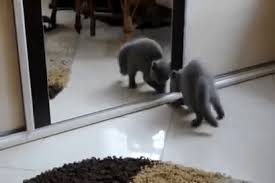 cat looking in mirror gif. scareditless cat, scared, self, mirror, fun, funny, comedy, kitty cat looking in mirror gif