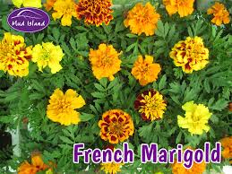 bedding plants french marigold