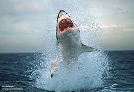 great white shark jumping. Wonderful Great Shot At Seal Island False Bay South Africa There Can Be Few If Any  Apex Predators That Have Achieved Such Fame As The Great White Shark Throughout Great White Shark Jumping A
