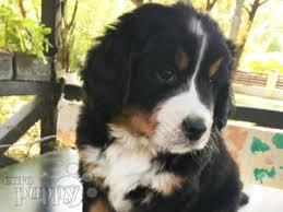 donna bernese mountain dog