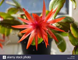 Christmas Cactus Light Up Close Up Of A Flowering Christmas Cactus In Natural Light