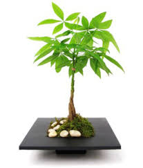 The Green Team Feng Shui Live Money Tree Indoor Indoor Plant.  serviceCentreDetails