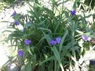441Традесканция уличная цветок