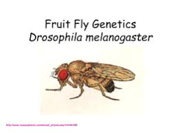 drosophila melanogaster lab report the fruit fly genetics local brookings k12 sd us