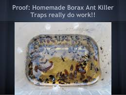 borax for ant control. Interesting For Proof Homemade Borax Ant KillerTraps Really Do Work Intended For Control