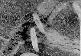nohut yaprak sineği lavra