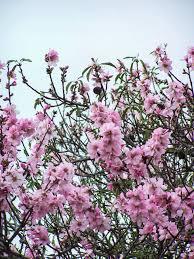 Come riconoscere 6 alberi da frutto dai loro fiori. 12 Alberi Sui Toni Del Fucsia Che Fanno Risplendere Il Giardino