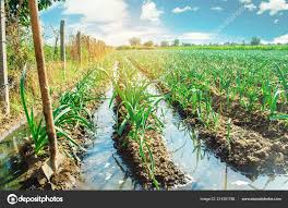 Natural Watering Agricultural Crops Irrigation Leek Plantations Grow
