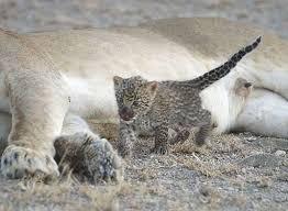 unique lion seen nursing leopard cub