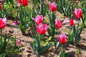 landscape nature plant flower tulip spring pink plants flowers beautiful pretty flower garden flowering plant flower