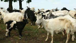 funny goat on the farm herd of goats on nature pasture wildlife and ecology fooe 90362943