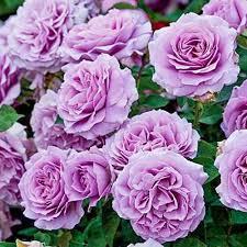 Роза флорибунда лав сонг: цены от 369 ₽ купить недорого в ...