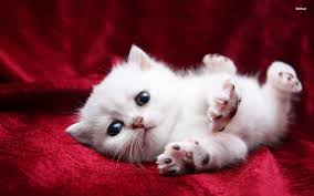 cute white cats and kittens wallpapers