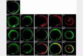 Трехлетняя интенсивная научная работа Арсения в лаборатории  Из диссертации phd Морова А Р Распределение признаков активности комплекса arp2 3 в оплодотворенном и неоплодотворенном яйцах