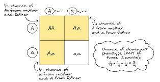 Mendelian Genetics Chart Probabilities In Genetics Article Khan Academy