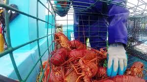 Resultado de imagen para pesca de langostas
