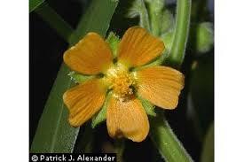 Plants Profile for Abutilon theophrasti (velvetleaf)