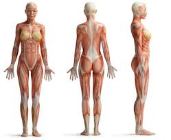 Human body, the physical substance of the human organism. Organic Zambet Alee Woman Body Anatomy Tinerifermieri Ro