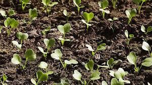 Hangi sebze hangi ayda ekilir? Havuç, bezelye, ıspanak, domates, turp,  patates, soğan... ne zaman ekilir? - Püf Noktası