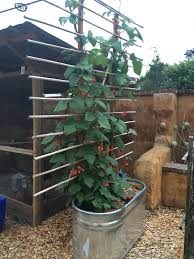one of our oval galvanized troughs planted with scarlet runner beans