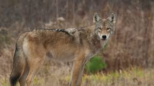 Wolf Species Size Chart Wolf Coyote Coywolf Understanding Wolf Hybrids Just Got A