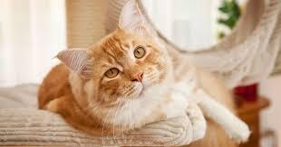 non prescription low phosphorus cat food. Calcium Supplements In Homemade Cat Food Non Prescription Low Phosphorus U