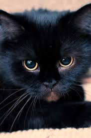 cute black cats with yellow eyes. Perfect Cute Nyx Rank Loner Alive Or Dead Dead Fluffy Black Mainecoon Shecat With  Large Yellow Eyes Intended Cute Black Cats With Yellow Eyes I