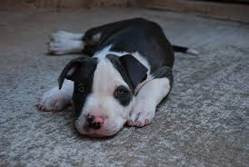 white and black pitbull puppies.  Pitbull Blue Nose Pitbull Dogs Puppies And White Black B