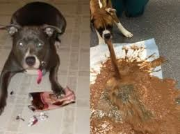 here is what happens if a dog eat a chocolate don t give a chocolate to your dogs you