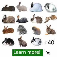What Is A Holland Lop How To Care Lifespan Faq With