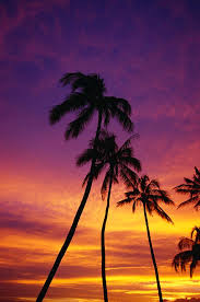 scene photograph palm tree silhouettes sunset waikiki by natural selection craig tuttle
