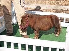 Miniature Horse Weight Chart Miniature Horse Wikipedia