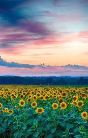 Sunflower iPad Wallpapers - Top Free ...