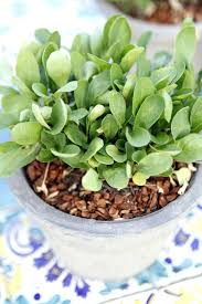 when to plant arugula container vegetable garden planting arugula seeds outside