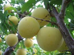 Pawpaws Americau0027s Best Secret Fruit  Serious EatsWhat Fruit Trees Grow In Michigan
