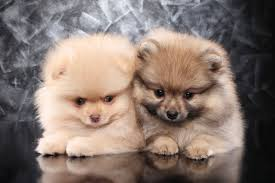 pomeranian mini australian shepherd mix. Plain Australian Two Little Pomeranian Spitz Puppies And Mini Australian Shepherd Mix A