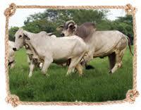 Upgrading of breed between 1950and 1960. History Of Brahman Ganaderia La Huasteca