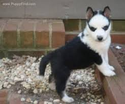 black and white short haired husky puppies