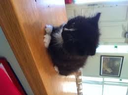 black and white kittens for sale. Fine Black Black And White Medium Haired And White Kittens For Sale A