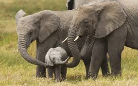 Elephant Wallpapers Backgrounds ...
