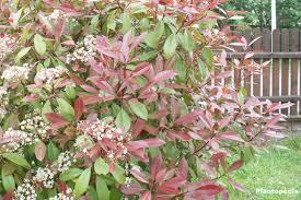 photinia fraseri red robin in the garden