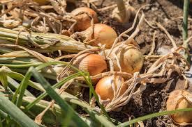 Resultado de imagen para semilla de cebolla