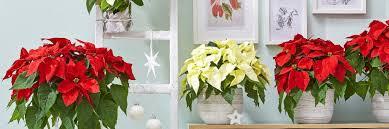 Stimmungsvolle Weihnachtssterne Dehner