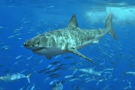 Shark Size Comparison Chart The 10 Largest Sharks Sharkwater Extinction