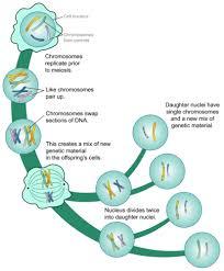 Meiosis Read Biology Ck 12 Foundation