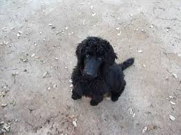 he is a black male standard poodle puppy who is 12 weeks old a friend of mine in austin texas is looking for a foster guardian type situation for