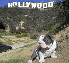 ace blue bulldog blue english bulldog blue eyes
