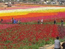 the flower fields carlsbad ca on march 30 2016