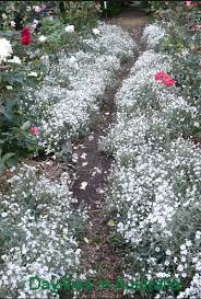 garden ground cover. Snow In Summer Groundcover Flowers Plants Garden Ground Cover I